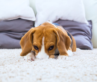 5 Reasons Your Dog Rubs Their Face On Your Rug