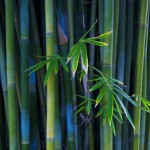 the bamboo plant