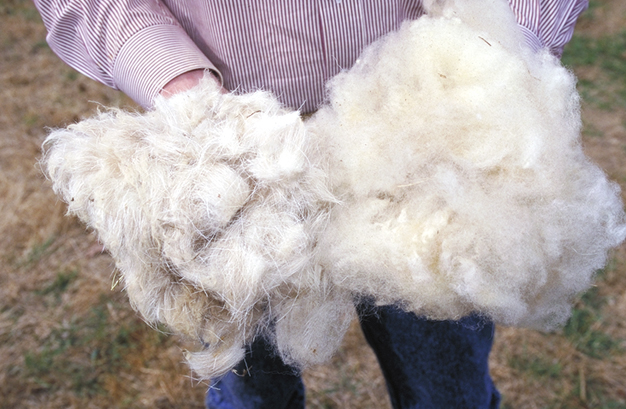 two handfuls of Wool sheared from a sheep